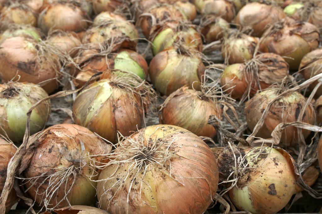 onion, crop, harvest